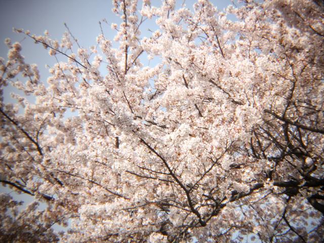 2012桜